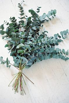 eualyptus.jpg