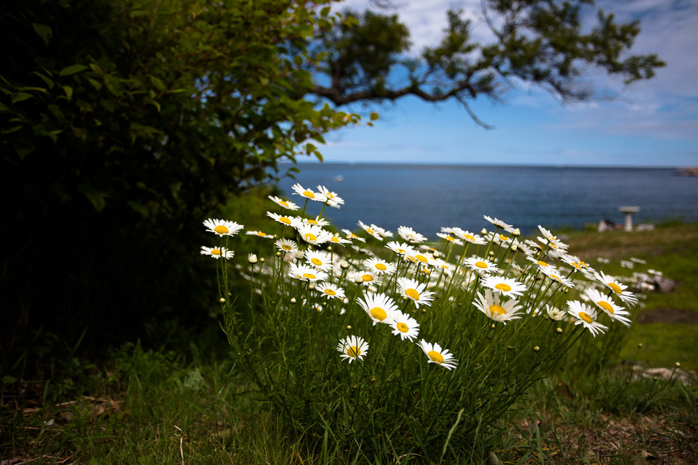 Native daisies growing near the Headlands in Rockport, MA.