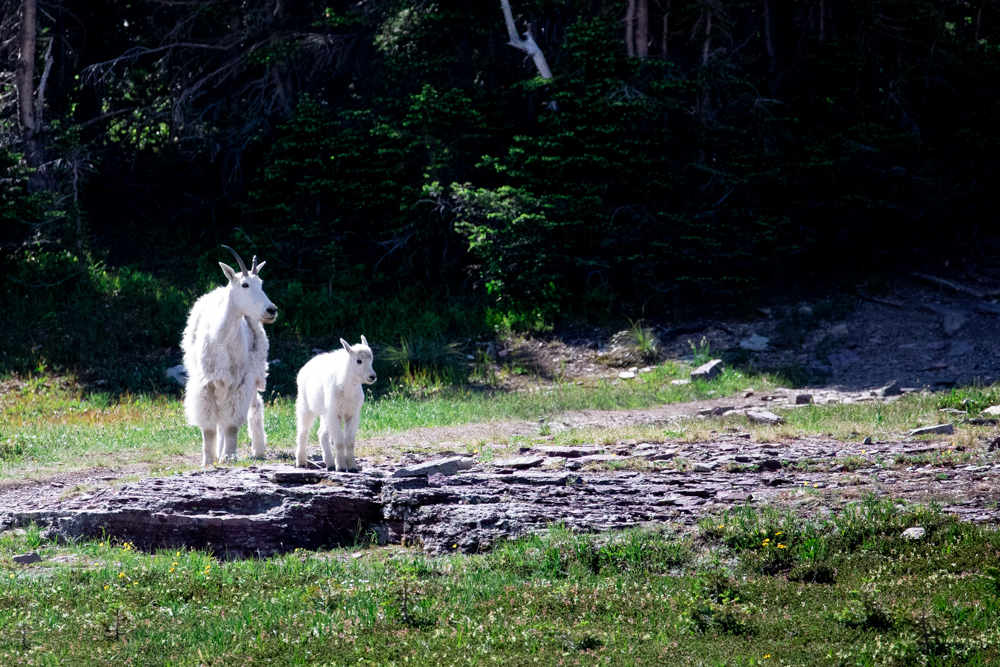 A mother mountain goat (a nanny) and her baby goat (a kid).