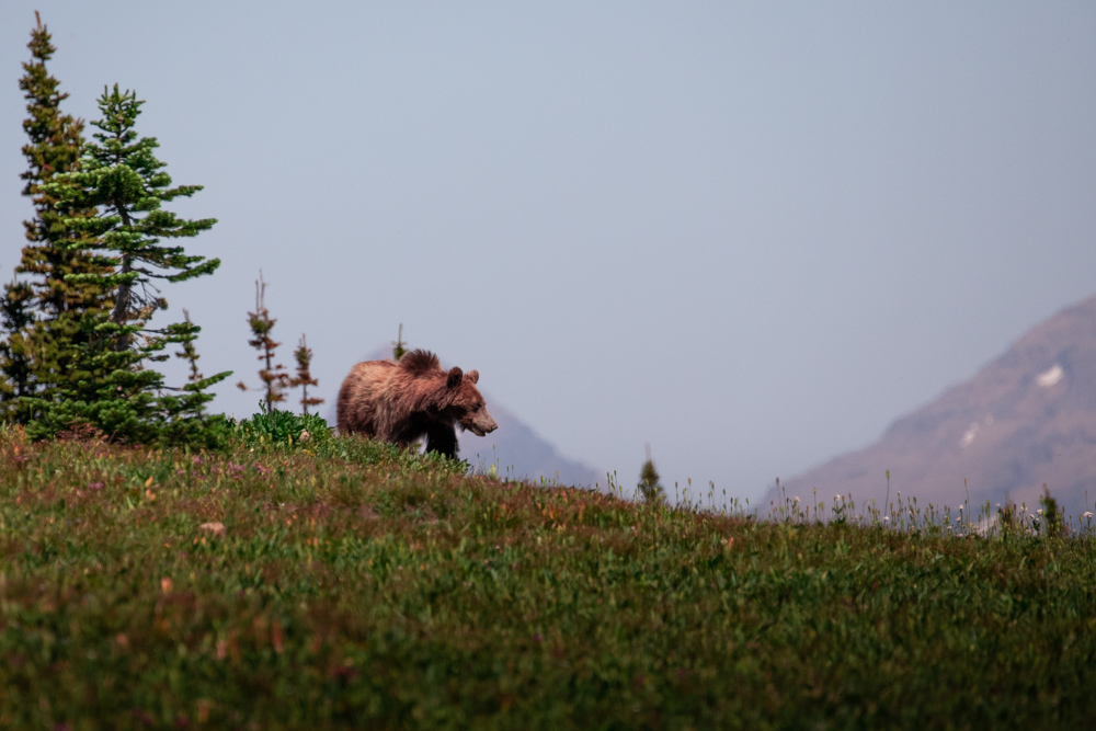 Grizzly Bear sighting at the Logan Pass trailhead in Glacier National Park.