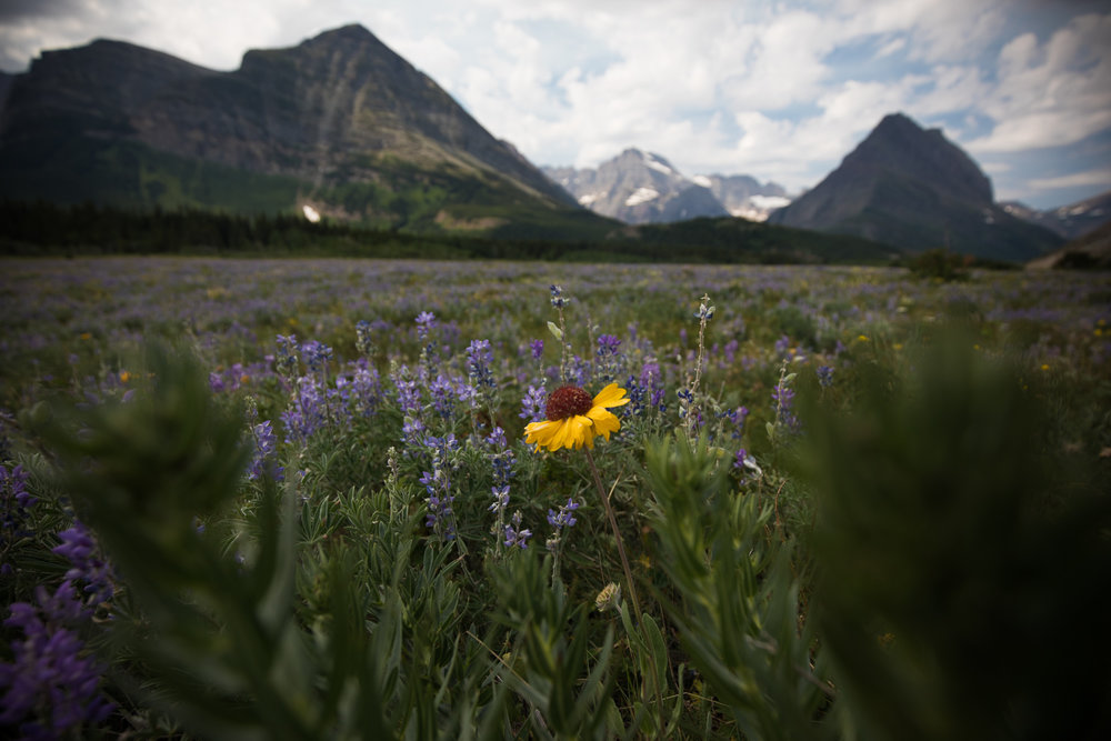 A lone blanket flower is seen among the lupines.  Source .