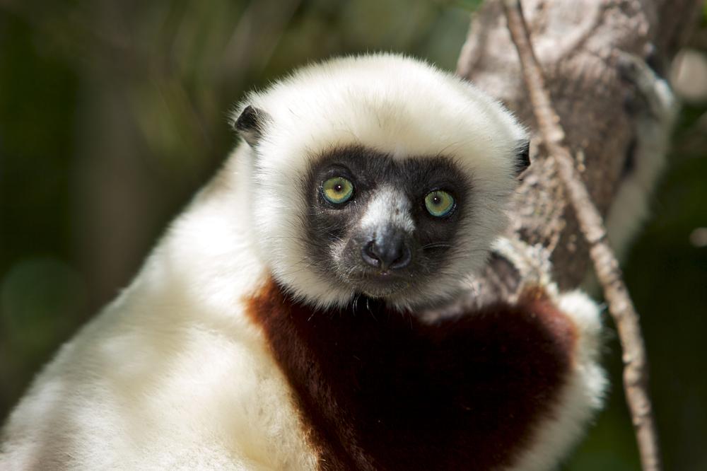 Coquerel's sifaka (Propithecus coquereli). Photo by Travis Steffens