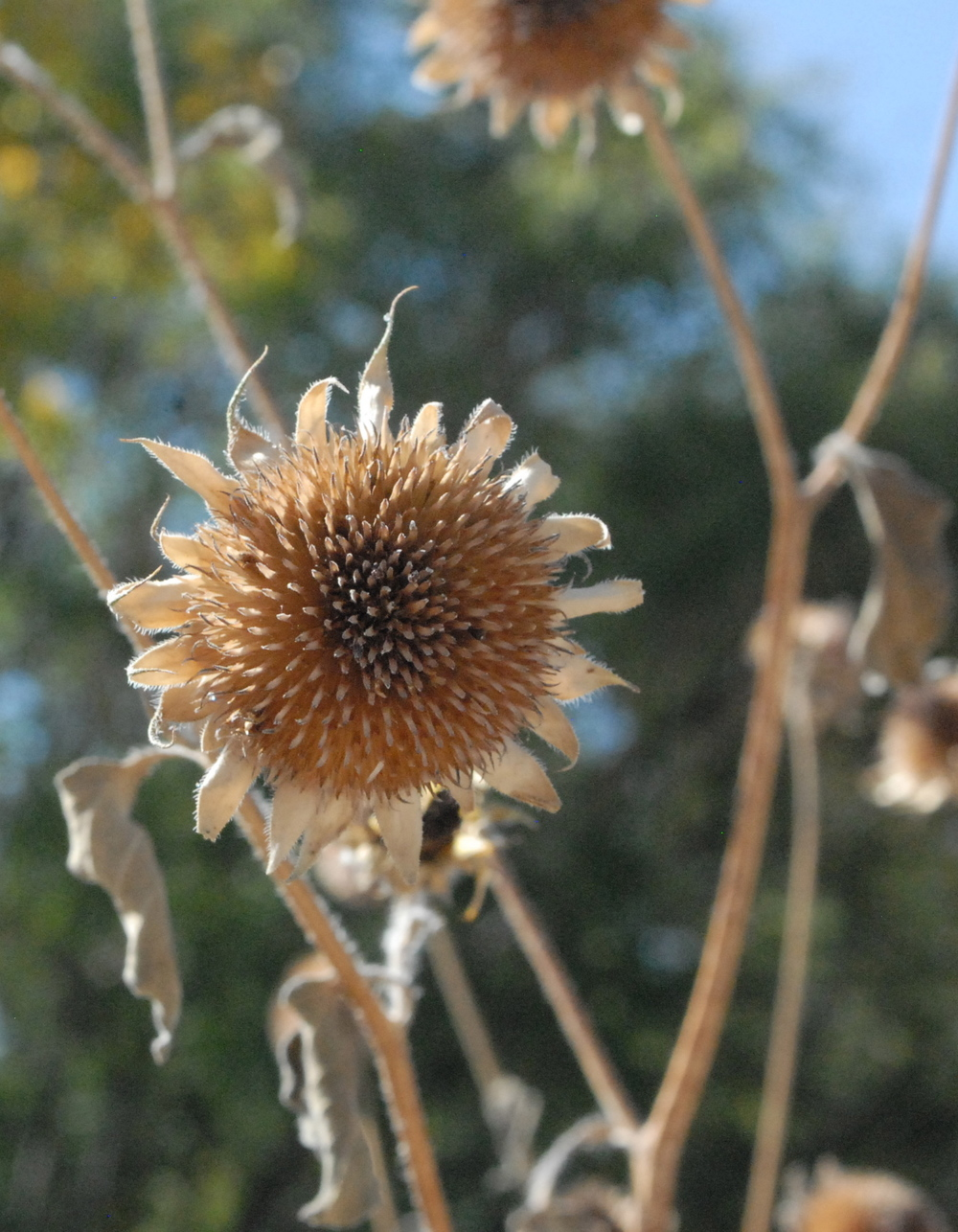 New Mexico sunflower in fall