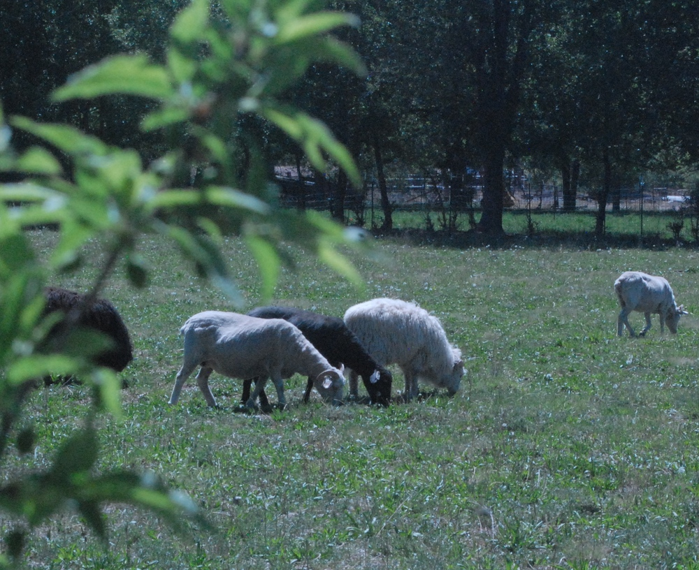 Grazing sheep in the front pasture at Ironwood farm.