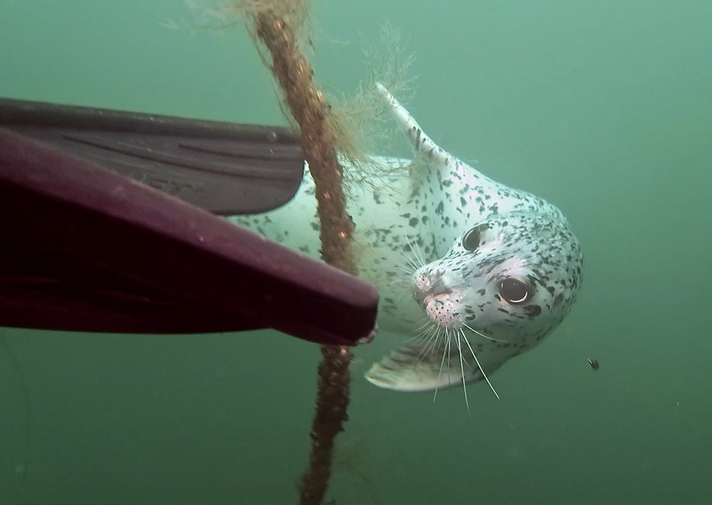 harbour seal 2.jpg