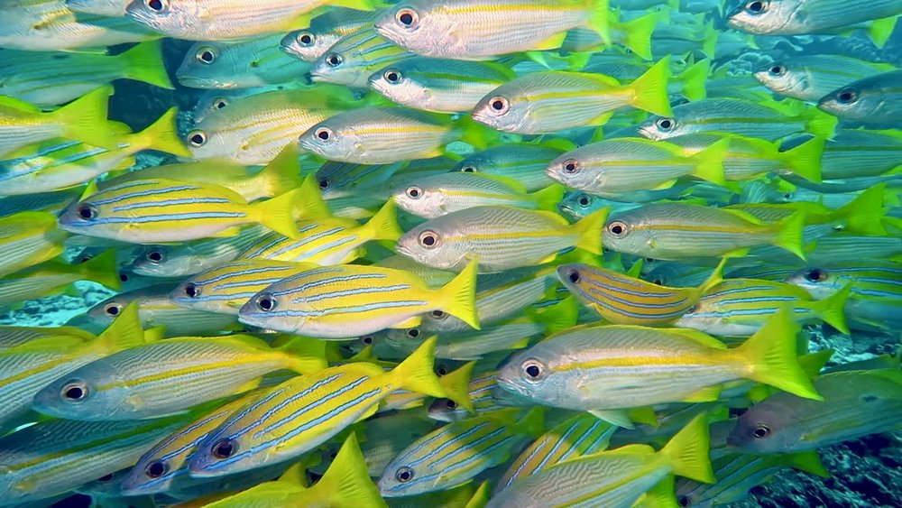 yellow-blue-silver fin fish 2.jpg