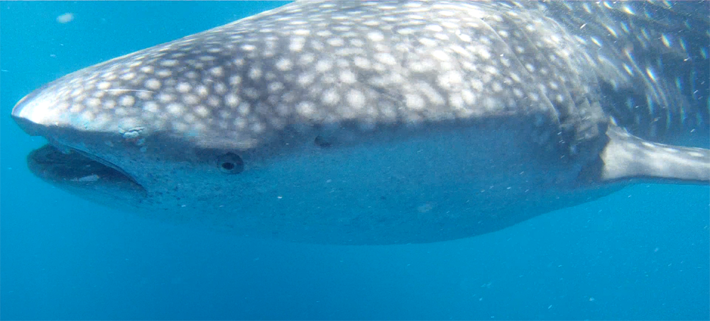 whaleshark 12.0 copy.png