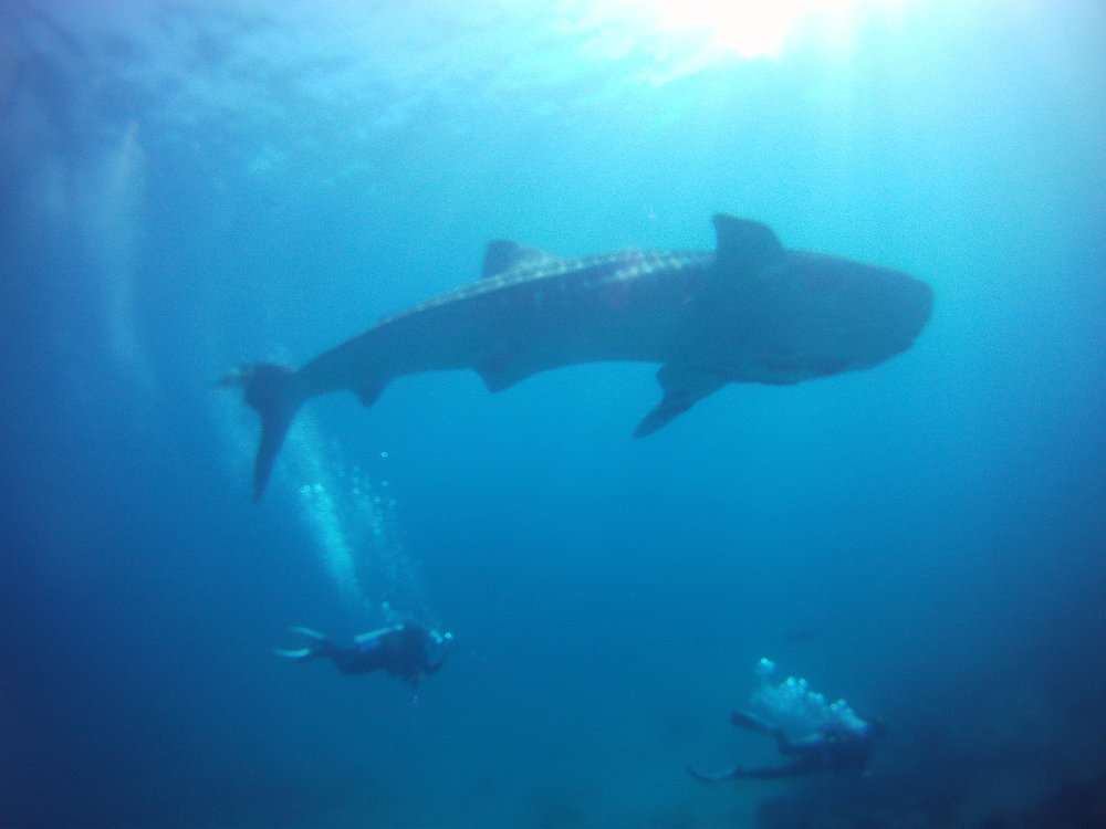 whaleshark 5 copy.jpg