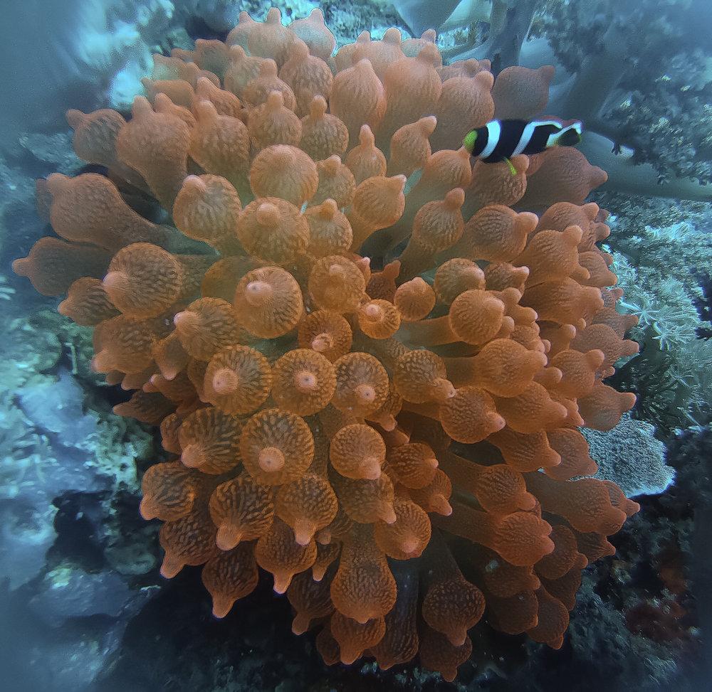 phils.anemone 25.jpg