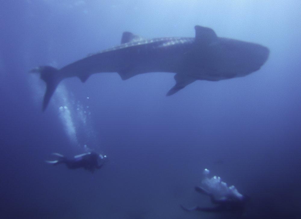whaleshark 7.jpg