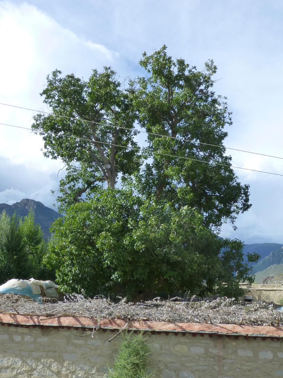 Life Force Tree of Yeshe Tsogyal
