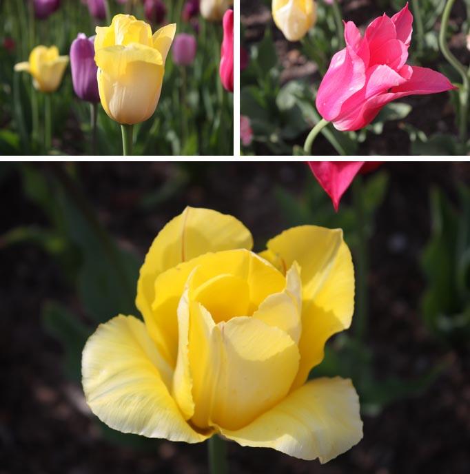 VBISONO_Tulips10.jpg