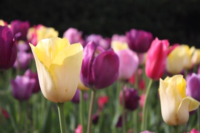 VBisono_Tulips1.jpg