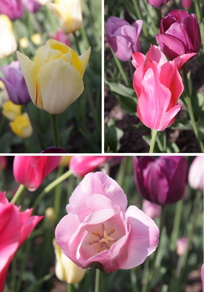 VBisono_Tulips7.jpg
