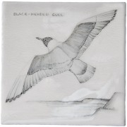 cmbirds-blackheadedgull-chalkw.jpg
