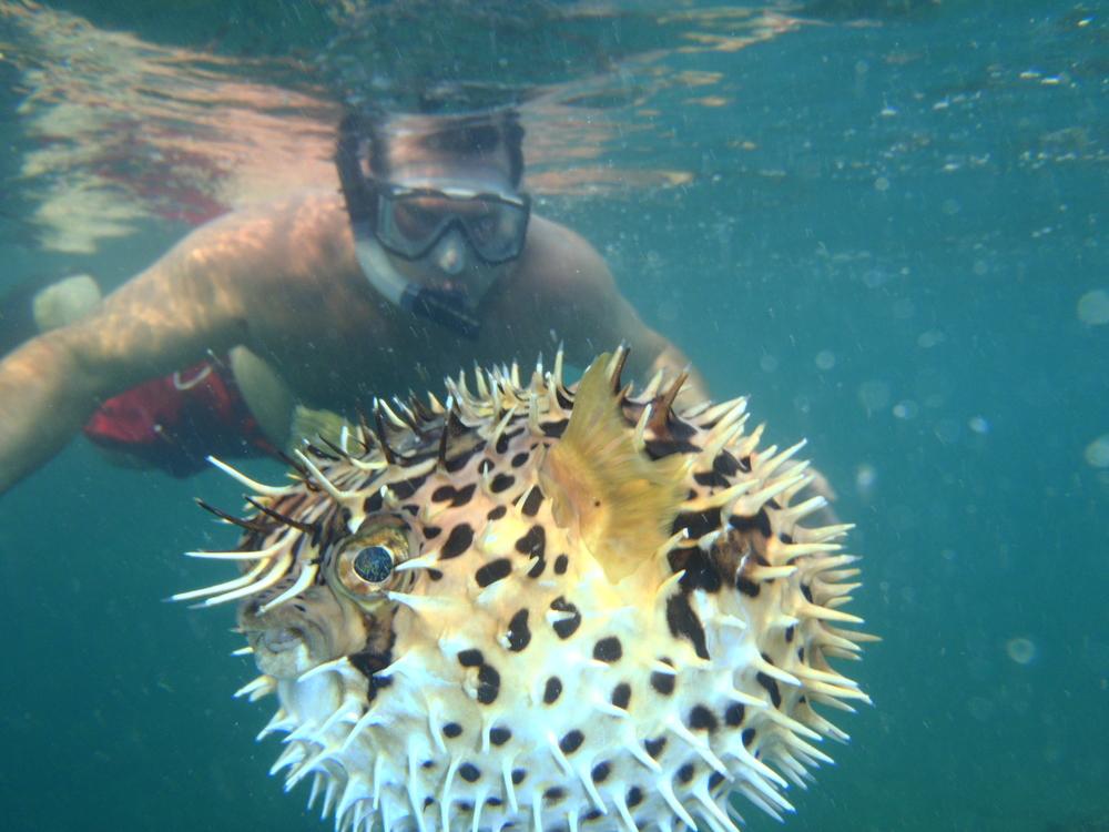 Puffer Fish in Costa Rica