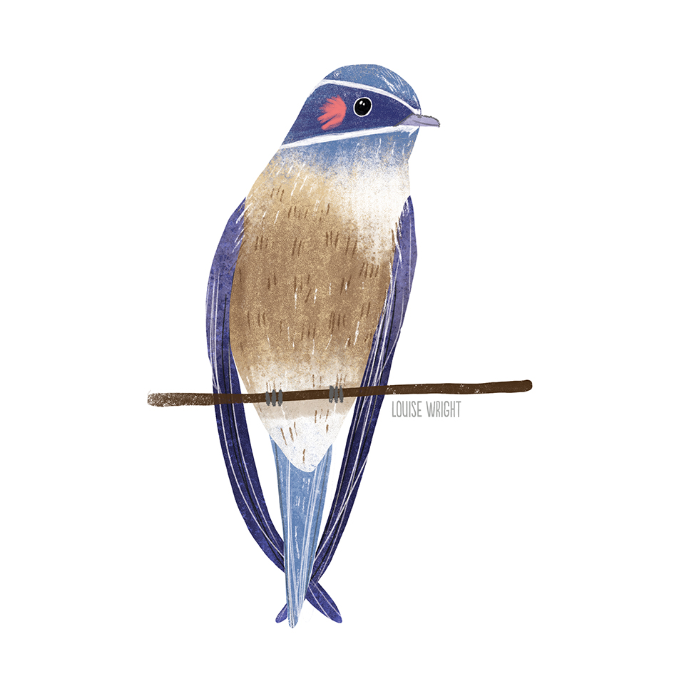 whiskered treeswift louise wright.jpg