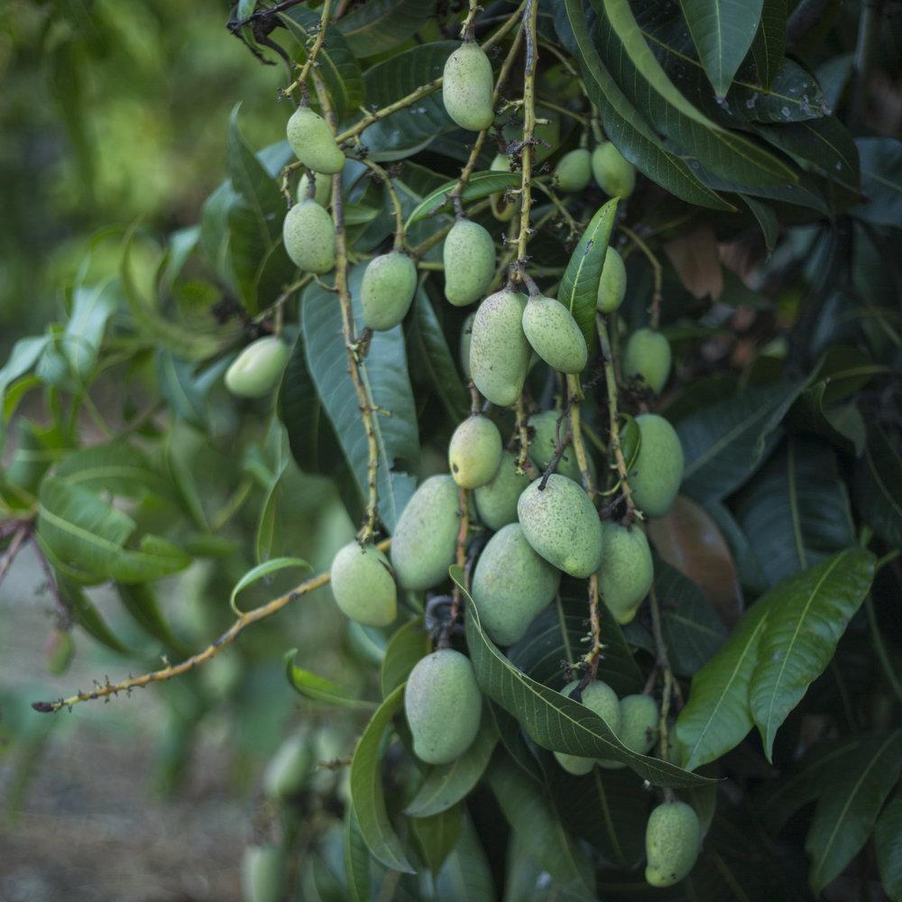 mango_bbg_trees.jpg