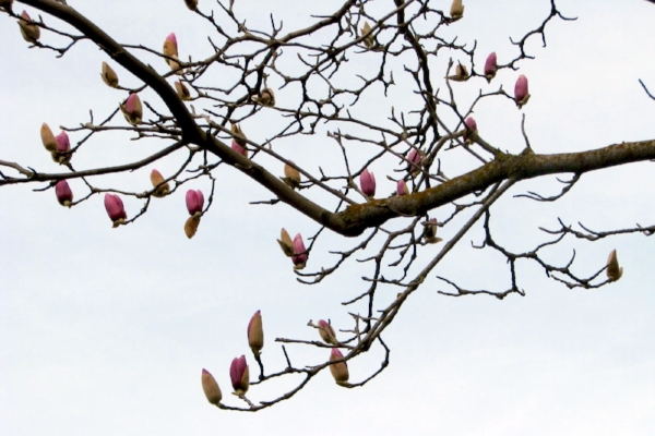 The Saucer Magnolia that grew in my front yard - I miss this beauty!