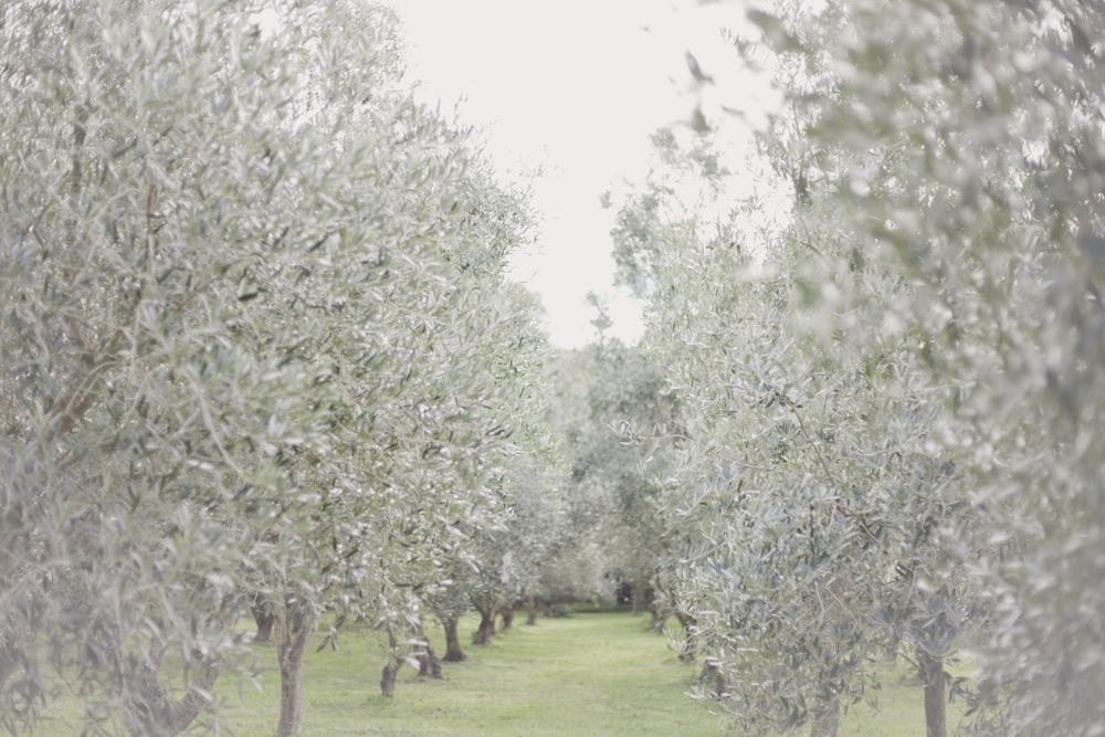 olive_3.JPG