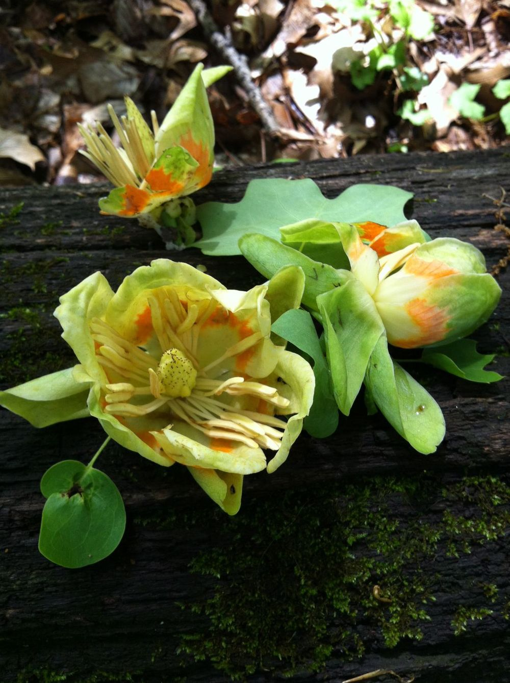 Yellow-poplar