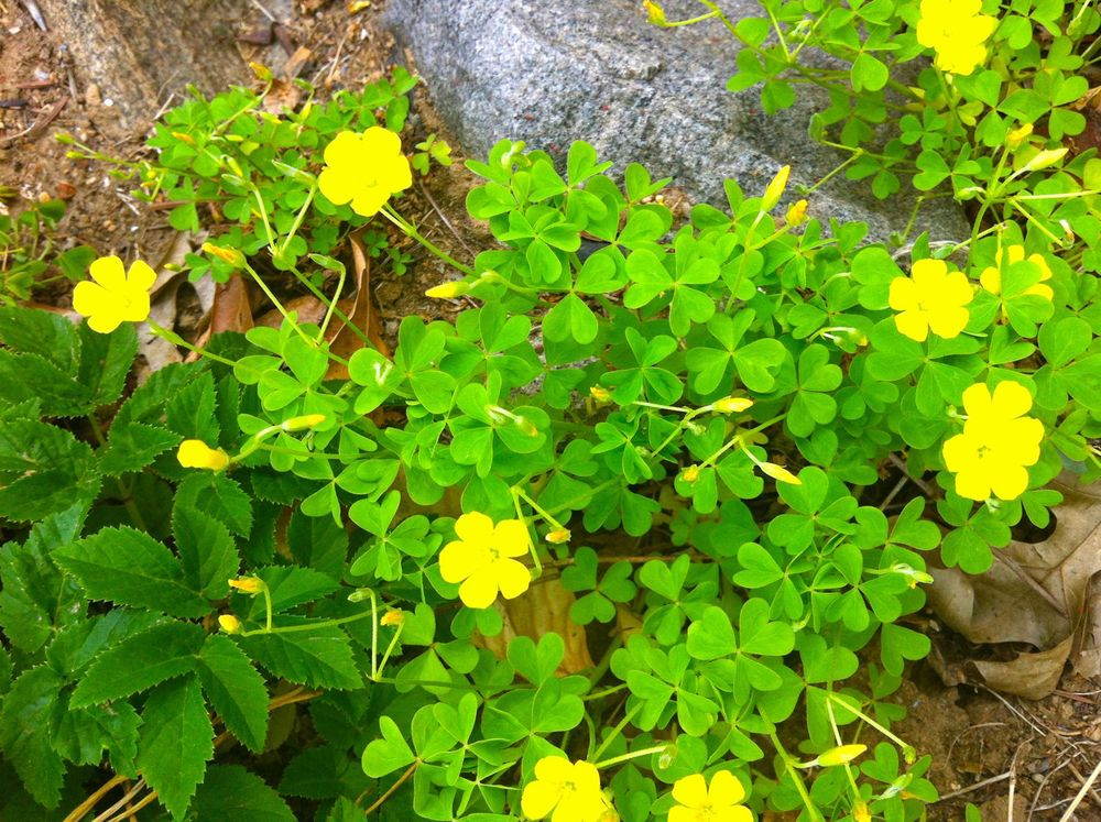 Common Yellow Wood-sorrel