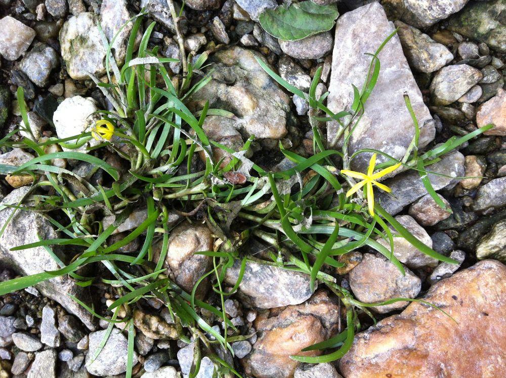 Water star-grass