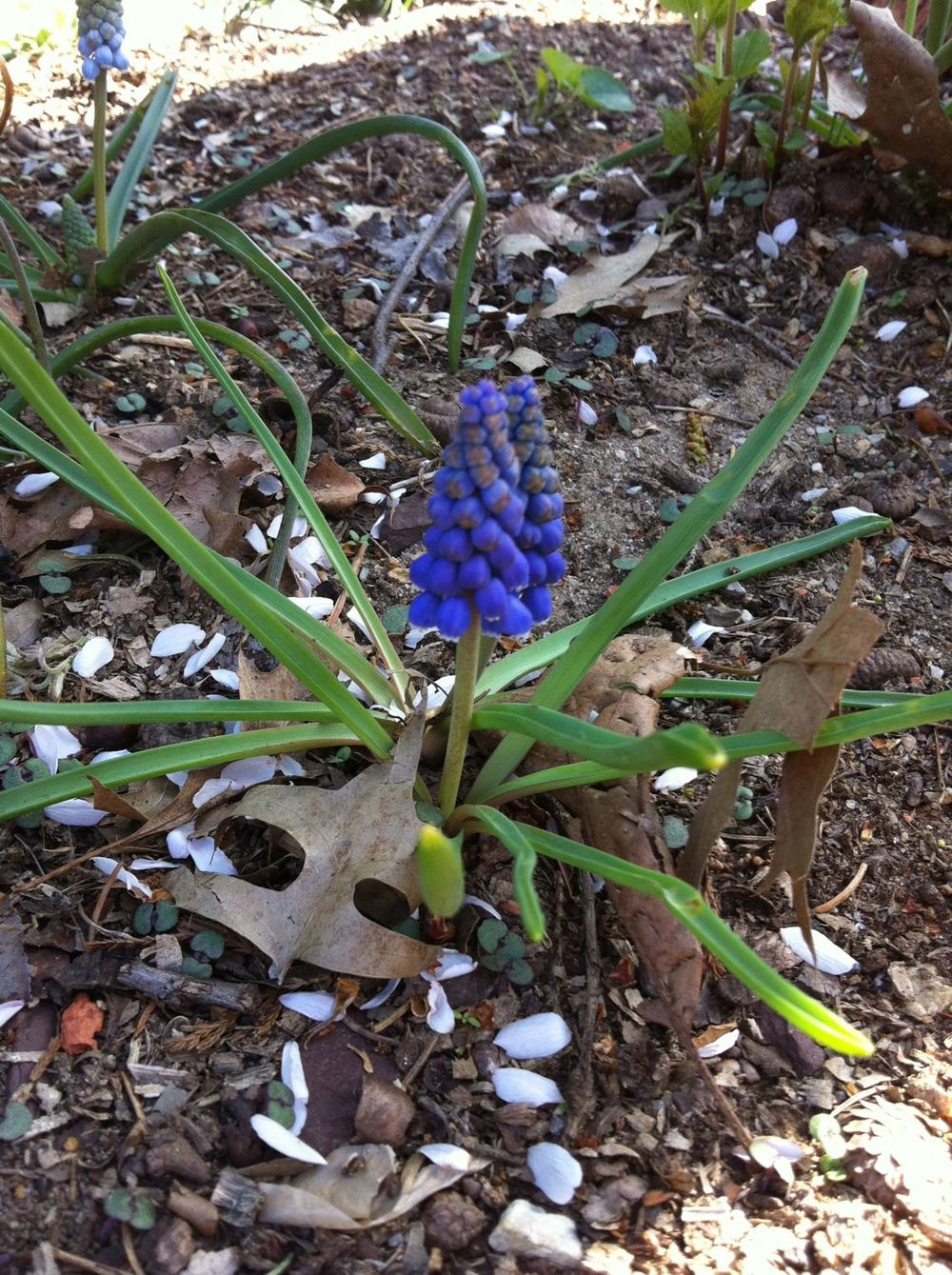 Grape-hyacinth