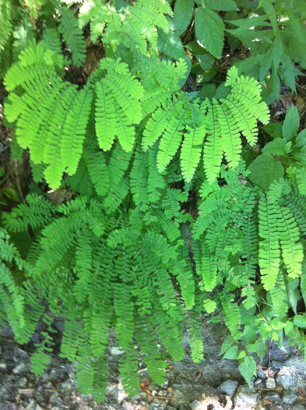 Northern maidenhair