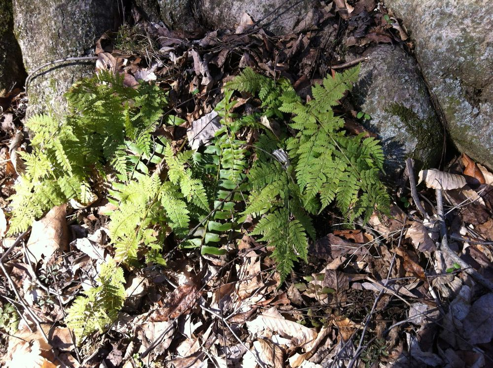 Evergreen wood-fern