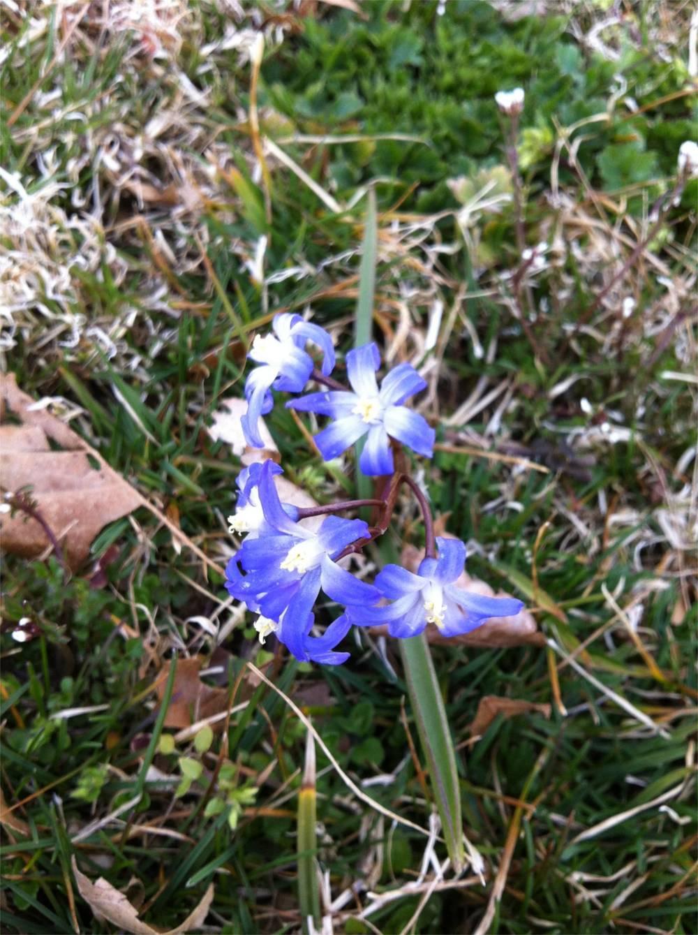 GLORY-OF-THE-SNOW  ( Chionodoxa luciliae  Boiss.), 3 April 2013, Stroud Preserve, Chester County, Pennsylvannia.