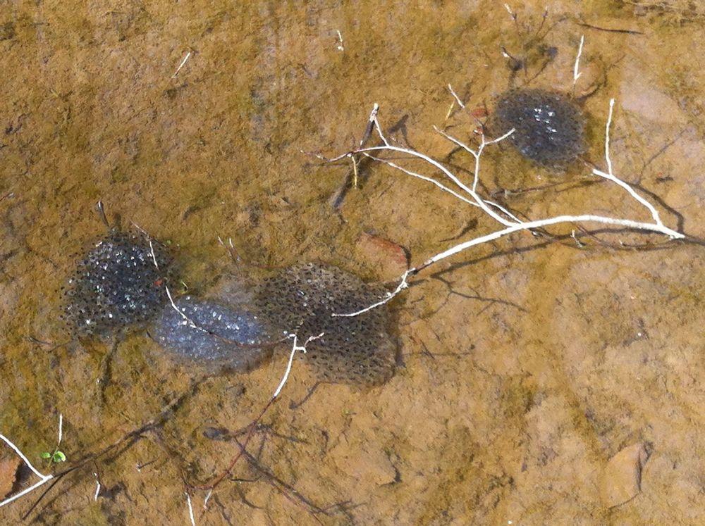 Bull frog egg mass
