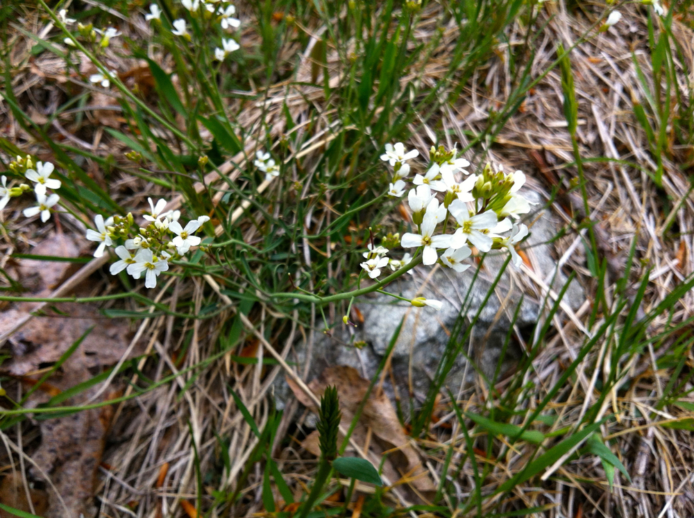 Lyre-leaved rockcress  Arabis lytata  L.  23 April 2013, Stroud Preserve, West Chester, Chester County, Pennsylvania.