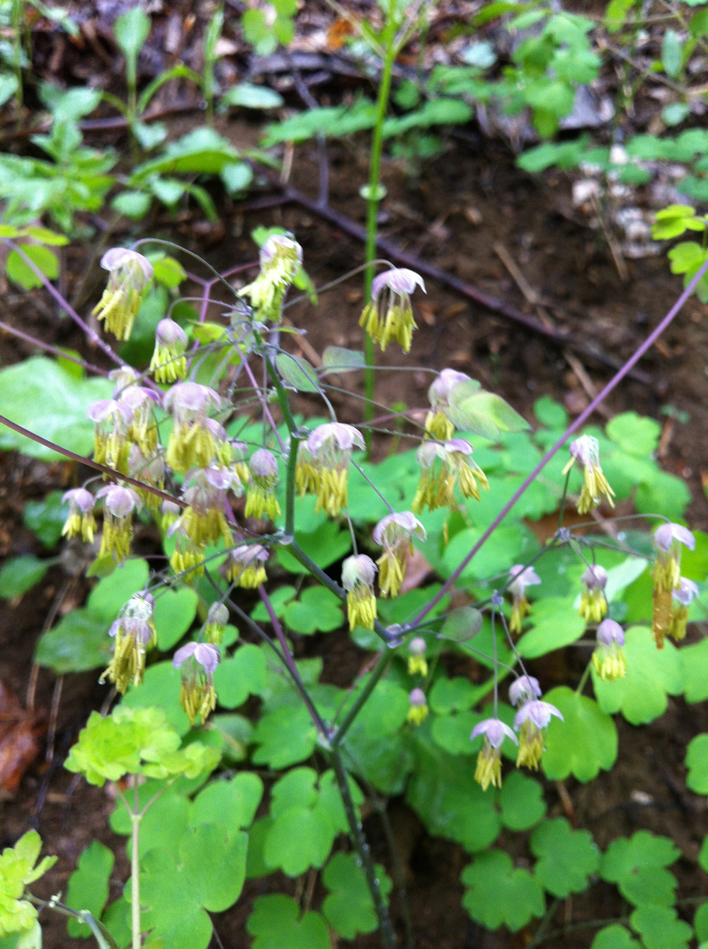 Early meadow-rue