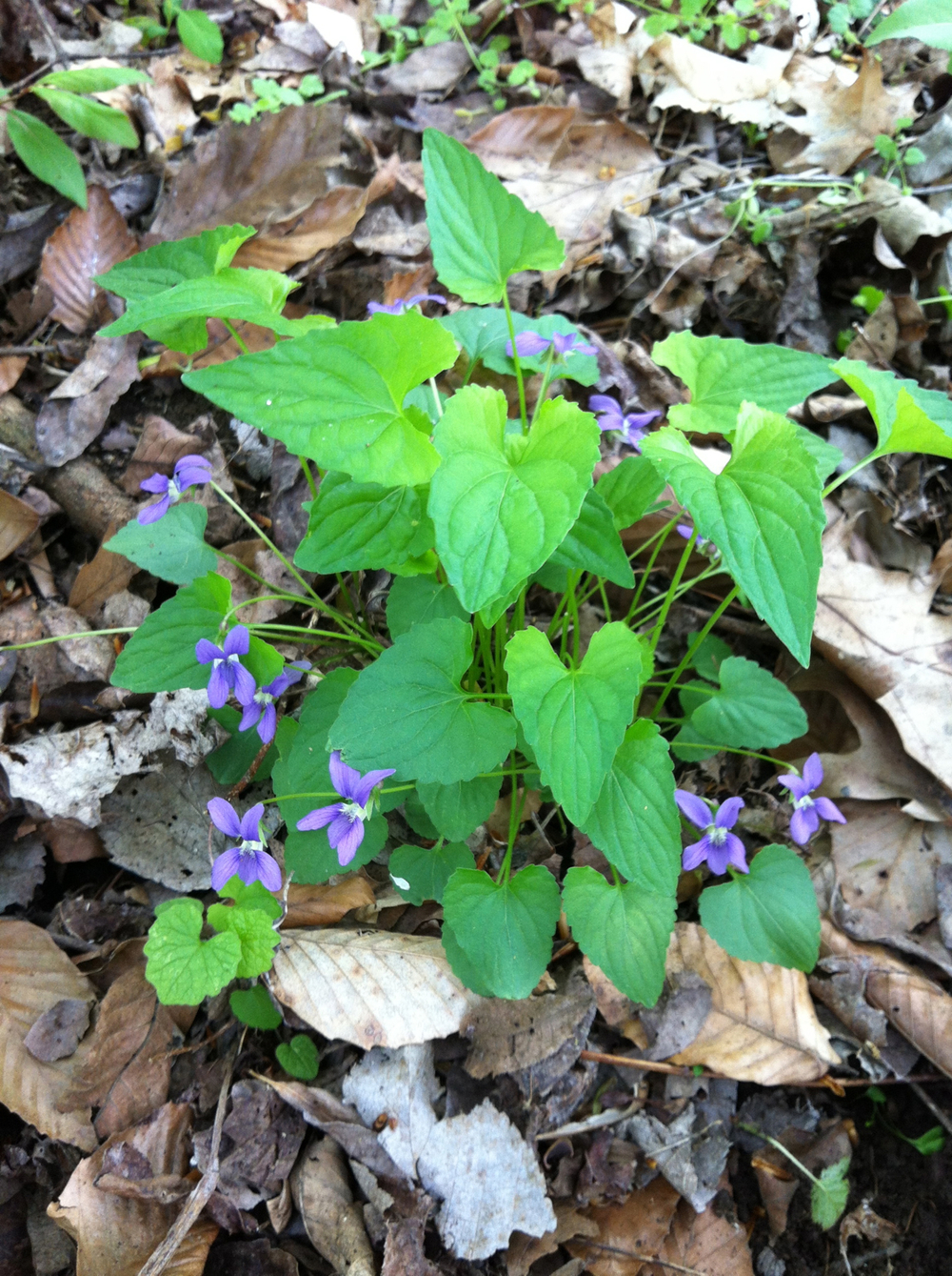 LeConte's violet
