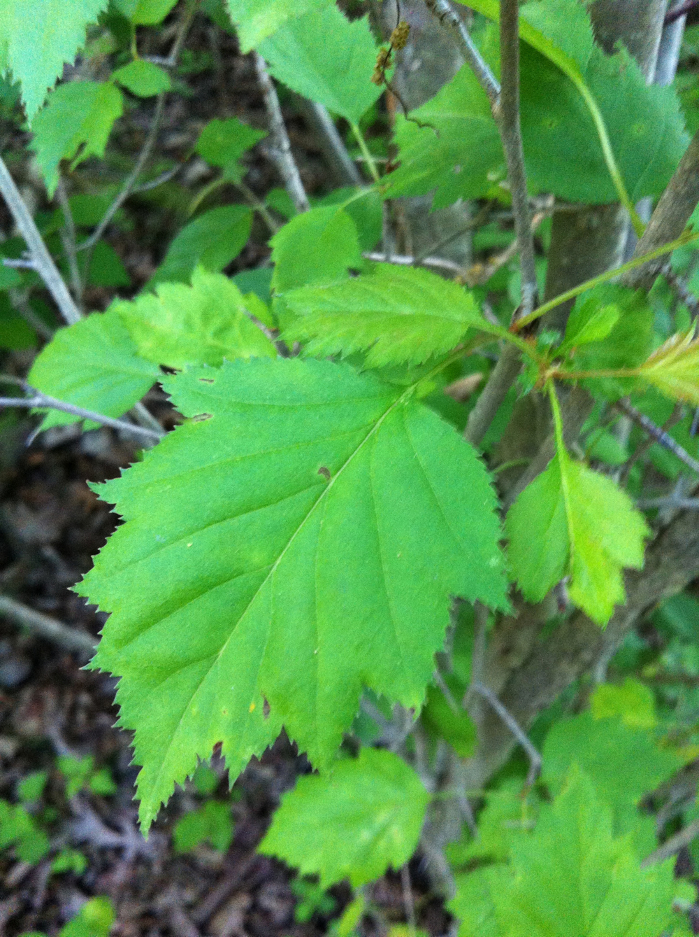Large-seed hawthorn
