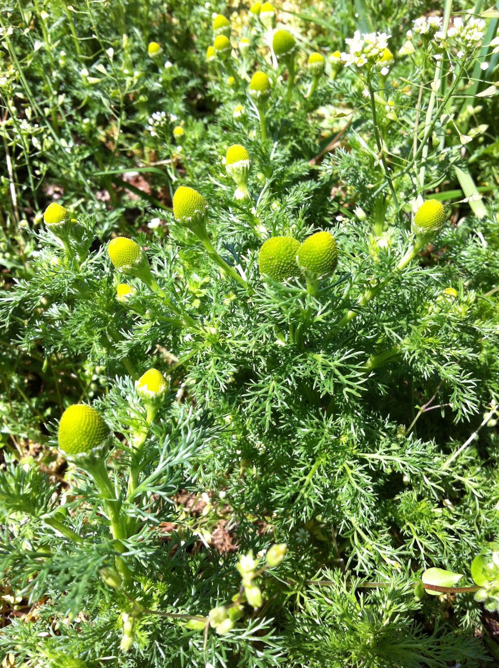 Pinnapple-weed