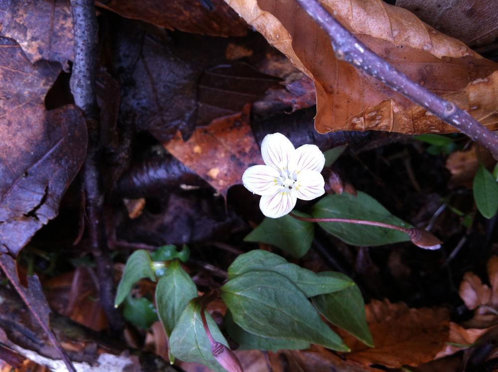 Carolina spring-beauty