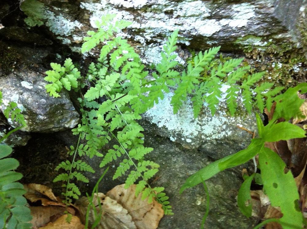 Fragile fern