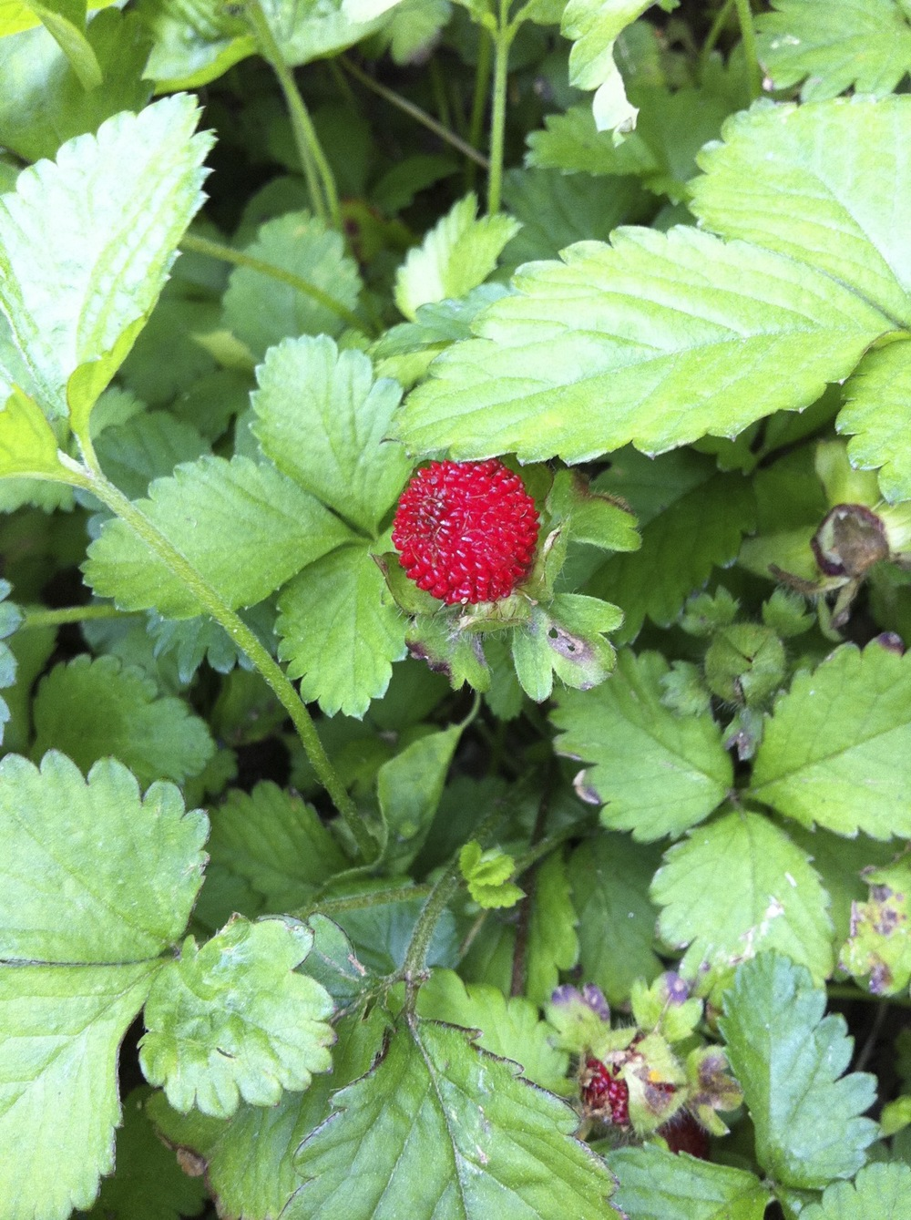 Indian-strawberry