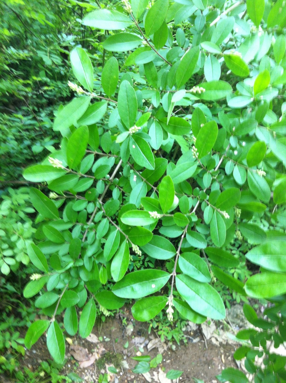 Obtuse-leaved privet