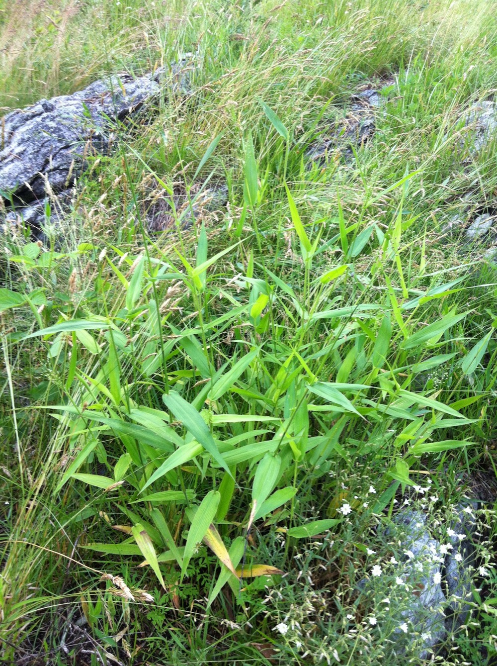 Deer-tounge grass