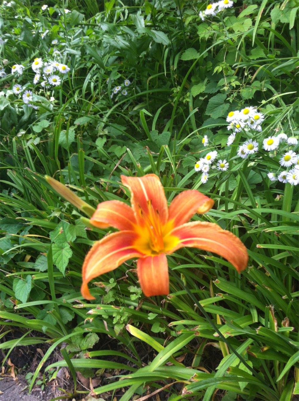 Orange day-lily