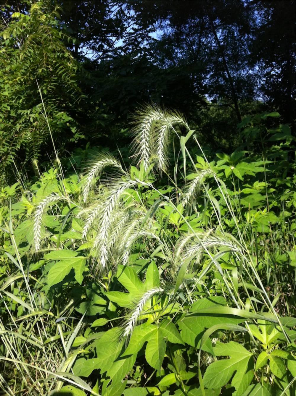 Virginia wild-rye