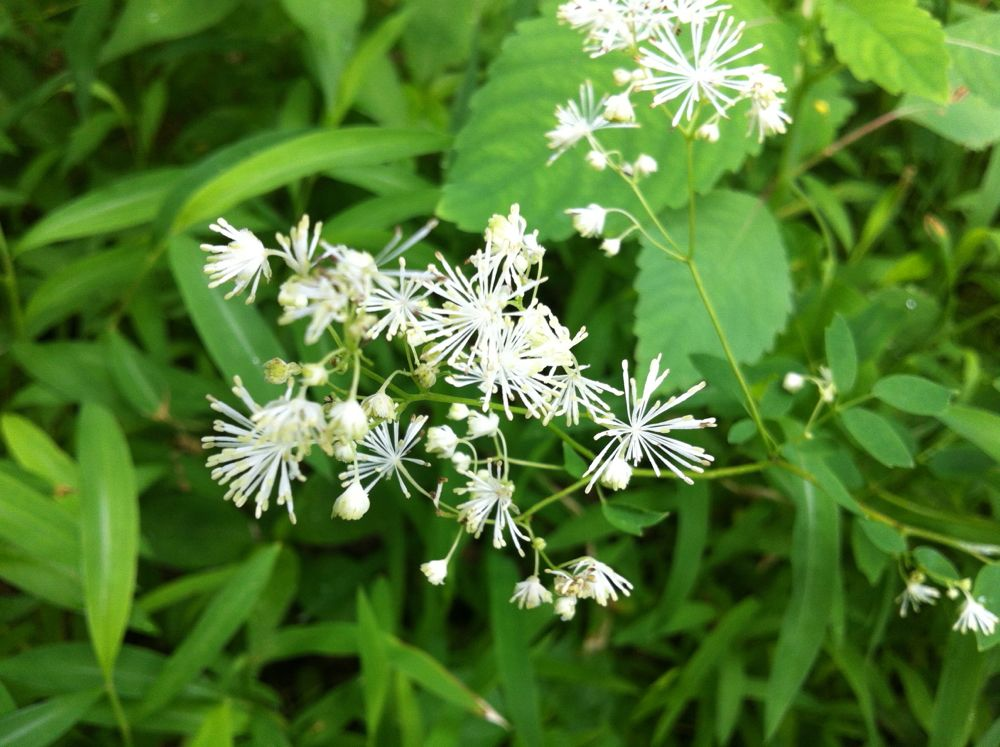 Tall meadow-rue