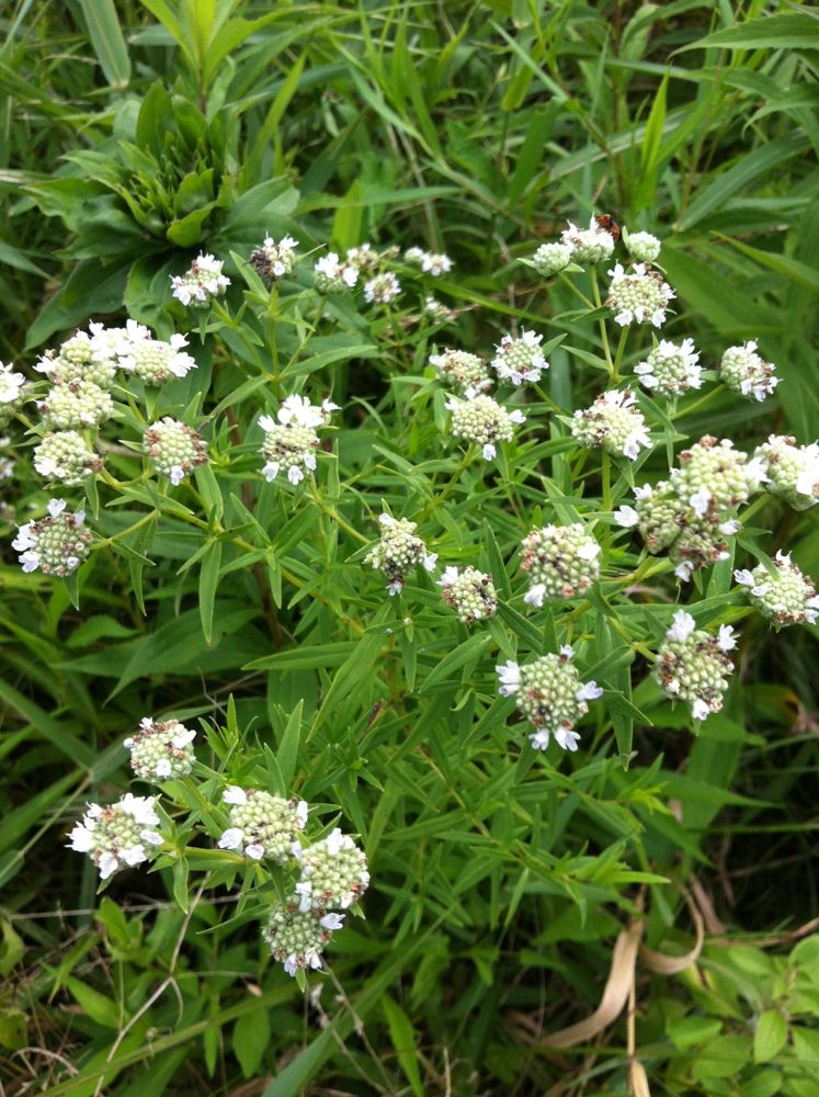 Narrowleaf mountainmint