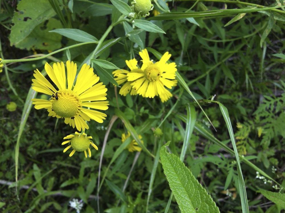 Common sneezeweed