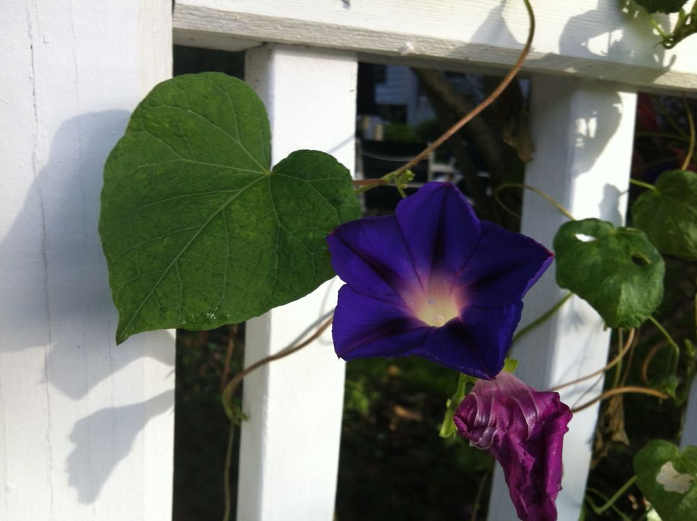 Common morning-glory