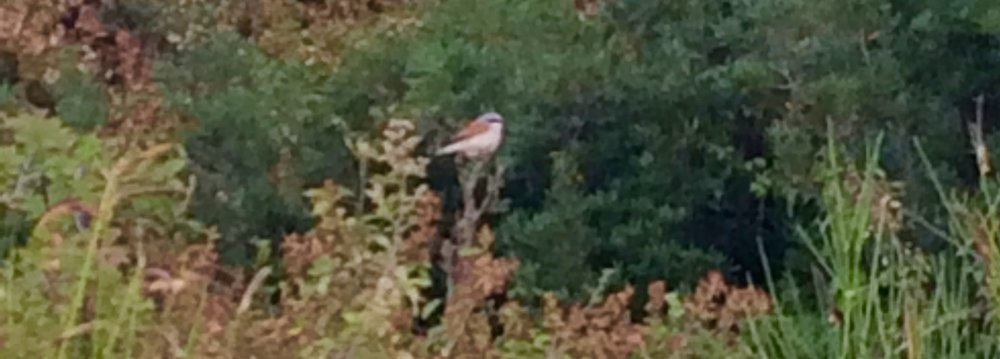 An adult Red-backed Shrike, Dubrovnik, Croatia, 10 August 2016