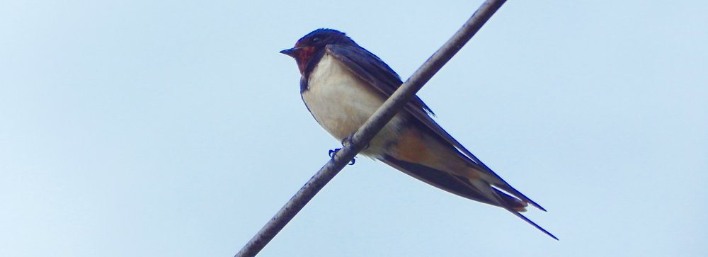 Barn Swallow, Dubrovnik, Croatia.